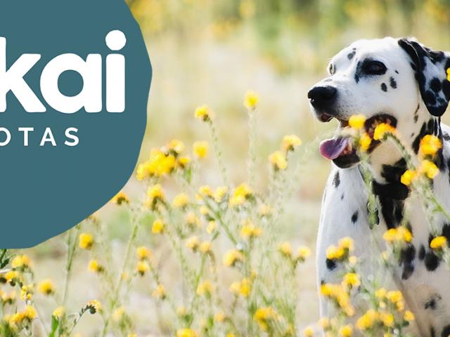 https://www.mokaimascotas.es/wp-content/uploads/2021/04/Dalmatians-dog-wildflowers_1680x1050-640x480.png